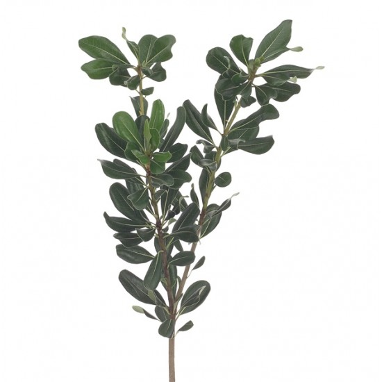 Pittosporum Greens